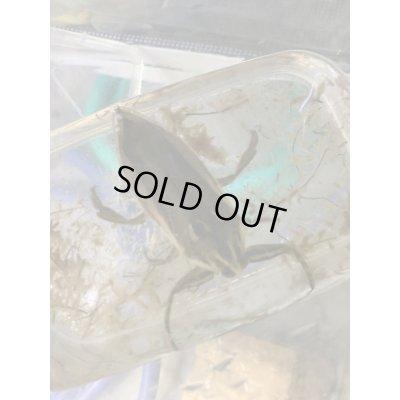 画像3: タイワンタガメ ペア売り