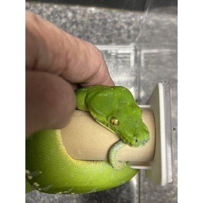 画像3: グリーンツリーパイソン ソロン ヤング