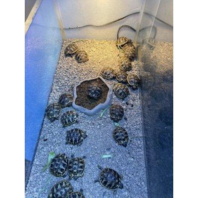画像1: ヒガシヘルマンリクガメ ベビー